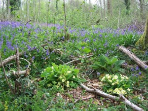 spring flowers &amp; new coppice shoots