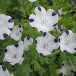 Hardy annual Nemophila