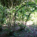 living hazel arches
