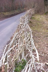 first years hedge laying
